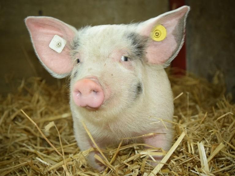 """Auf dem Ferienhof Lührs leben vier """"Bunte Bentheimer"""" Schweine."""