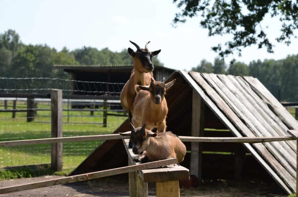 Zwergziegen, Pferde, Ponys, Hunde, Bunte Bentheimer Schweine und Rinder leben auf Hof Lührs.