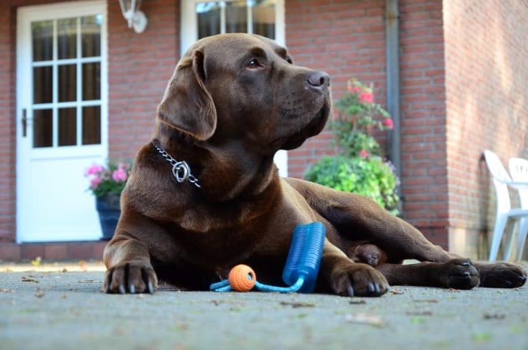 """Hofhund """"Bosse"""", ein Labrador"""